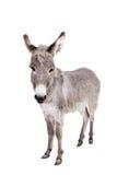 Esel auf Weiß Stockbild