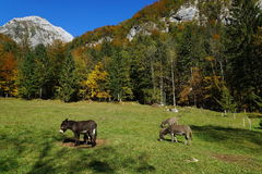 Esel auf Weide Stockbild