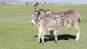 Esel auf Weide stock footage