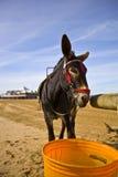 Esel auf Weston Strand Lizenzfreies Stockfoto