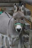 Esel am Bauernhof lizenzfreie stockfotografie