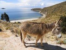 Esel bei Titicaca stockbild