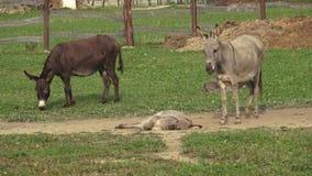 Esel bewirtschaften Esel auf dem Gebiet auf der Weide Familie von Eseln stock video