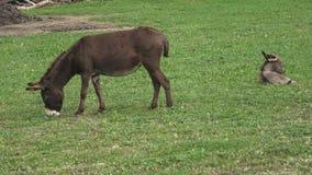 Esel bewirtschaften Esel auf dem Gebiet auf der Weide Familie von Eseln stock video footage