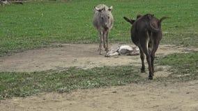 Esel bewirtschaften Esel auf dem Gebiet auf der Weide Familie von Eseln stock footage