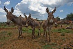 Esel, braune Häute, lange Ohren stehen auf einem verlassenen Land, begrenzte Seile, ein Basar in Süd-Äthiopien Lizenzfreies Stockbild