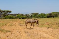 Esel an der Ackerlandlandschaft Stockfotos