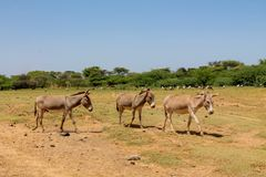 Esel an der Ackerlandlandschaft Lizenzfreie Stockfotografie