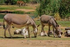 Esel an der Ackerlandlandschaft Lizenzfreie Stockfotos