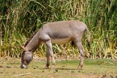Esel an der Ackerlandlandschaft isst Gras Stockfotos