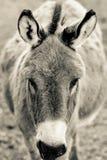 Esel, der auf Heu und Stroh auf dem Bauernhof einzieht Stockfoto