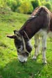 Esel, der Gras isst Stockfotografie