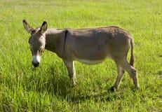 Esel, der Gras isst Lizenzfreies Stockbild