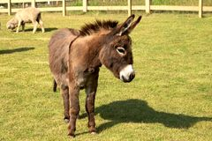 Esel, der ist ein nicht Pferd aber ein Esel stockbilder