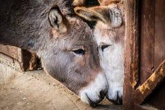 Esel in der Liebe Stockfotos