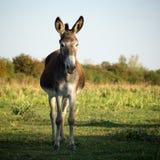 Esel in der Natur Lizenzfreie Stockfotos