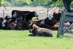 Esel, der Vieh schützt Lizenzfreies Stockbild