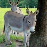 Esel in der Weide stockfotografie