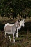 Esel, die auf einem Gebiet weiden lassen Lizenzfreie Stockfotografie