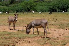 Esel, die Gras am Bauernhof essen Lizenzfreies Stockbild
