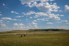 Esel, die in Richtung zum Zaun in Custer State Park South Dakota gehen Stockfotografie