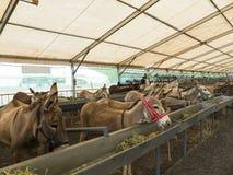 Esel an einem Viehmarkt Stockfotos