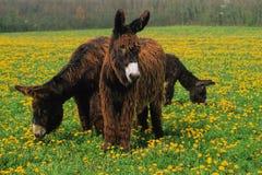 Esel in einer Wiese Stockbild