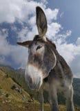 Esel, Equus africanus asinus Stockfoto