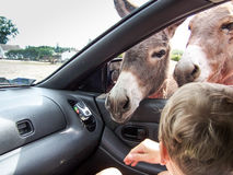 Esel im Auto Stockfoto