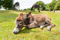 Esel im Gras Lizenzfreies Stockfoto