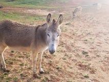 Esel im pelzartigen netten Braun des Weidenfeldes stockbild