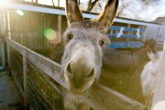 Esel im Stall, der ein lustiges Gesicht macht Stockfotografie