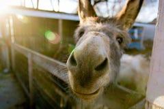 Esel im Stall, der ein lustiges Gesicht macht Lizenzfreie Stockbilder