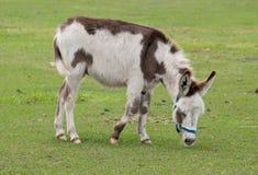Esel-Lack lizenzfreie stockfotos