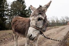 Esel Mailand ein zuverlässiger Begleiter stockfotografie