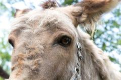 Esel mit einem Großkopf von nahem, die Kamera betrachtend stockfotografie