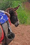 Esel mit einer Satteldecke und -tasterzirkeln vom Bast Marokko, Afrika Stockfotografie