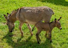 Esel mit Fohlen Lizenzfreies Stockbild