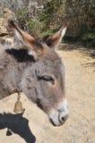 Esel mit Glocke um Hals stockfotografie