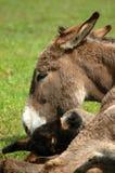 Esel mit ihrem Kalb Lizenzfreie Stockfotos