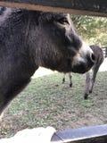Esel nah oben auf einem Bauernhof Stockfotografie