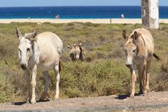 Esel nahe dem Strand in Morro Jable, Kanarische Inseln Fuerteventuras Lizenzfreies Stockbild