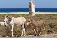 Esel nahe dem Strand in Morro Jable, Kanarische Inseln Fuerteventuras Lizenzfreie Stockfotos