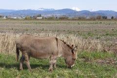 Esel oder Bau weiden lassen Lizenzfreie Stockfotos