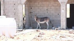 Esel oder Esel Equus africanus asinus, das von der hei?en W?stensonne in einer Baustelle in Arabische Emirate sich versteckt stock video footage