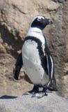 Esel-Pinguin Stockbilder