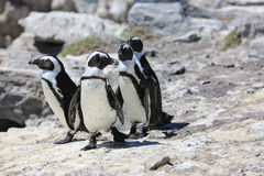 Esel-Pinguin Lizenzfreies Stockbild