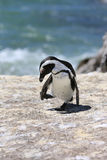 Esel-Pinguin Lizenzfreie Stockfotos