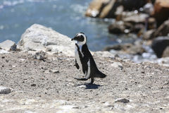 Esel-Pinguin Stockfoto