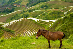 Esel-Reis-Terrasse-traditionelles Dorf Longji Stockfoto